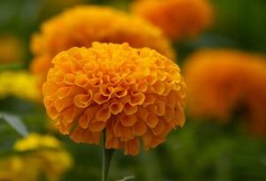Cempasúchil, flor de la muerte.